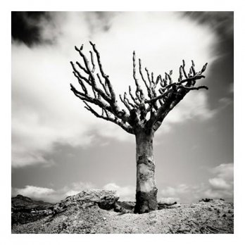 Dead Dragon's Blood Tree - Socotra