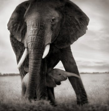 Nick Brandt/Elephant Mother & Baby Holding Leg