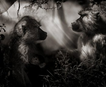 Nick Brandt/Baboons in Profile