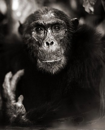Nick Brandt/Chimp Portrait With Hand II