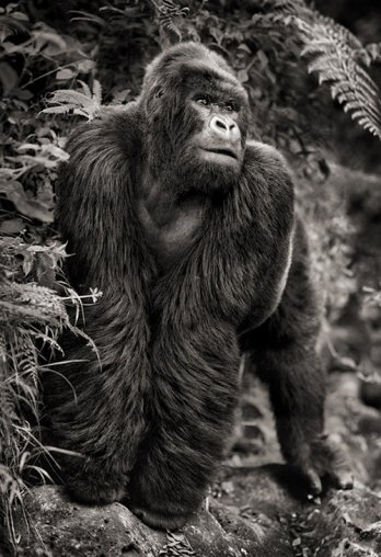 Nick Brandt/Gorilla On Rock