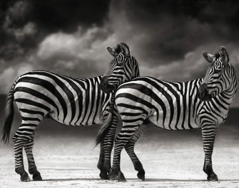 Nick Brandt/Zebras Turning Heads